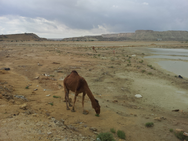 Some wild Camels we passed on Qeshm - How did they get there?