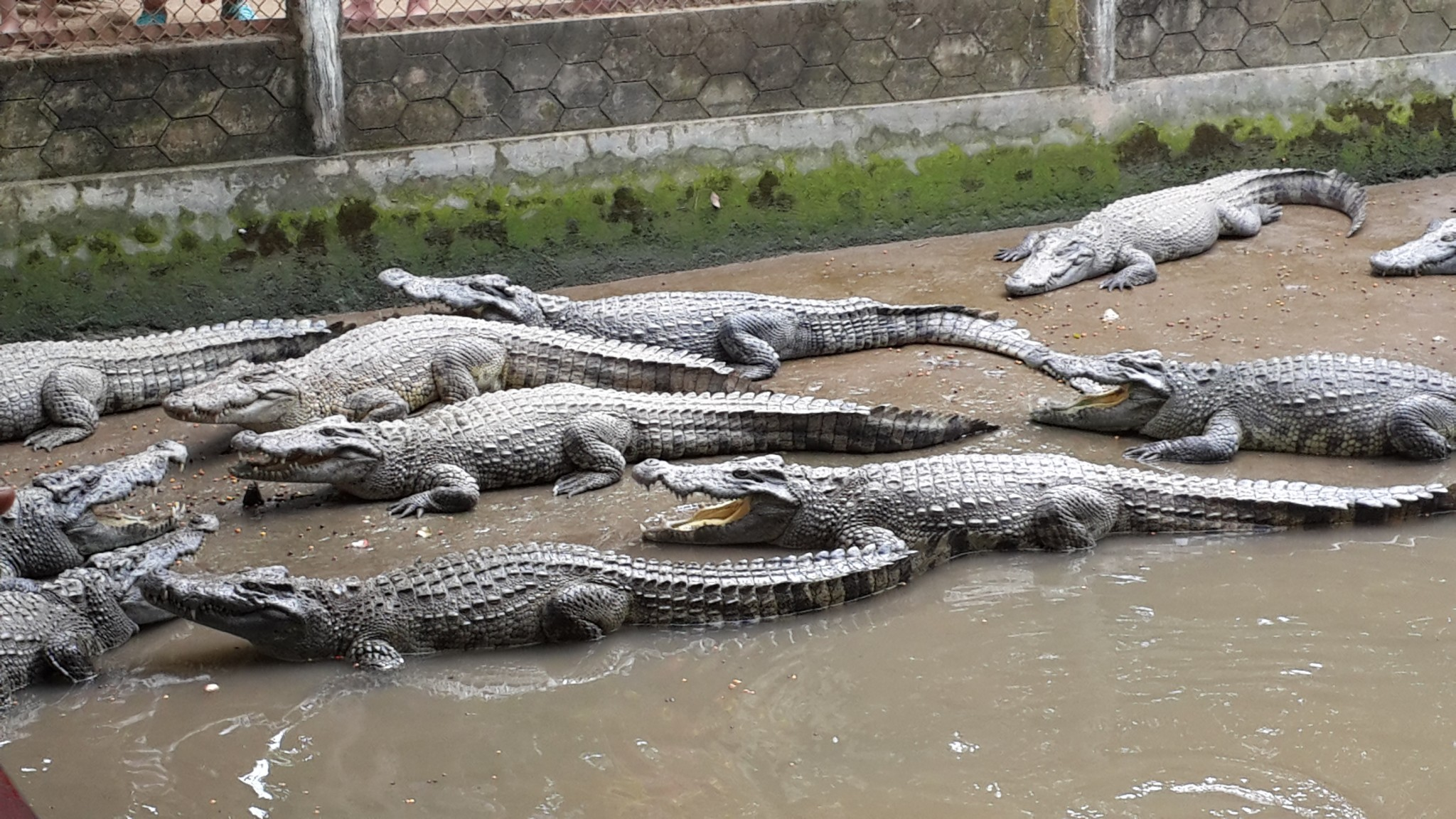Crocodiles at one of the stops along the Mekong Delta